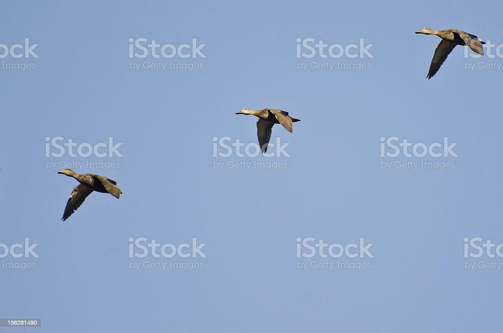 Three Mallard Ducks Flying in a Blue Sky royalty-free stock photo