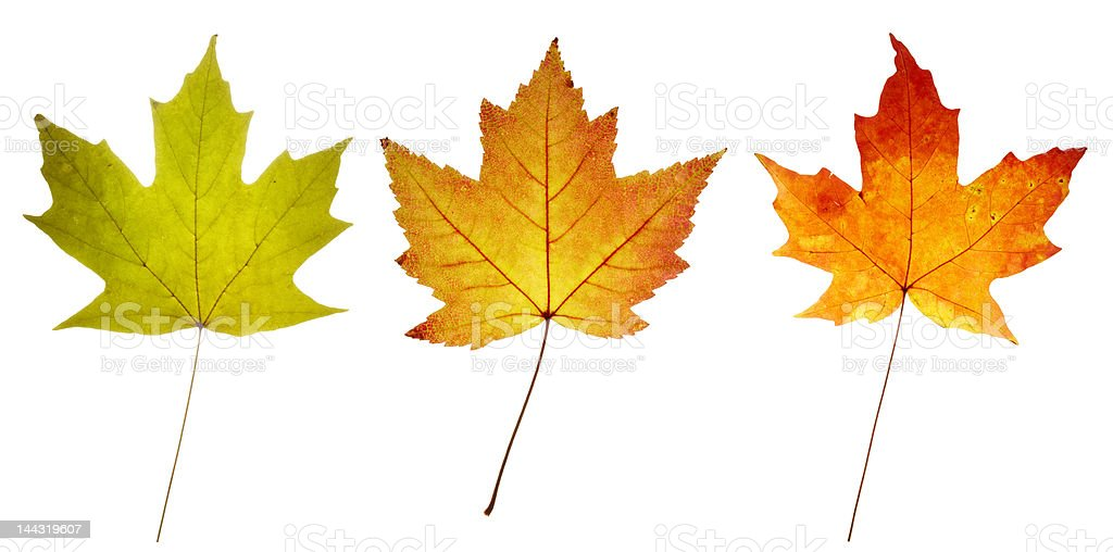 three maple leaves in green yellow red colors stock photo
