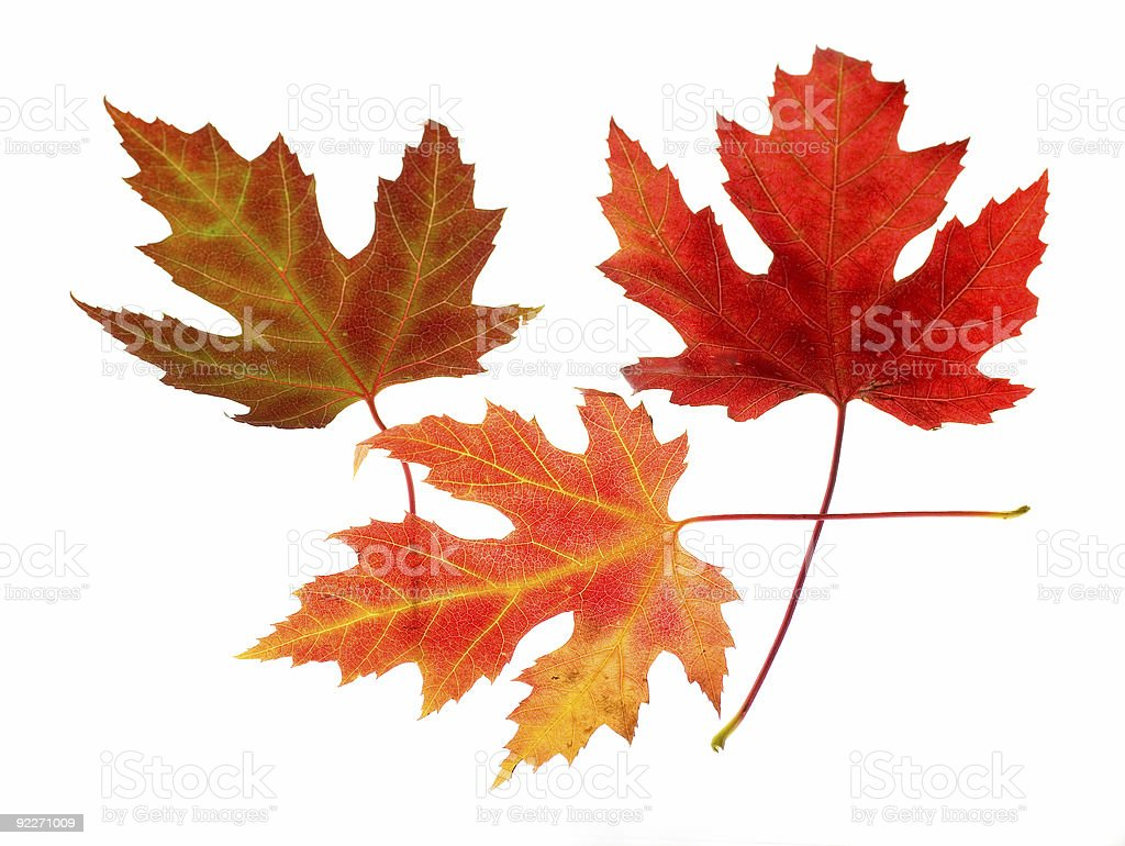 Three Maple Leaves on White royalty-free stock photo