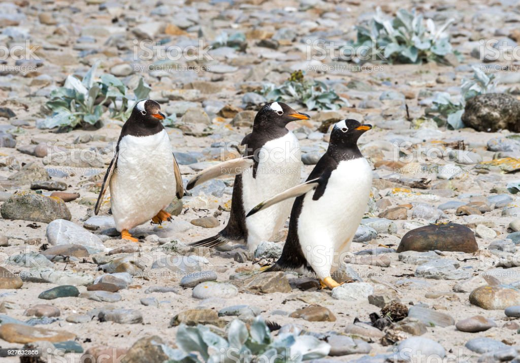 Three Marching Adelie Penguins stock photo