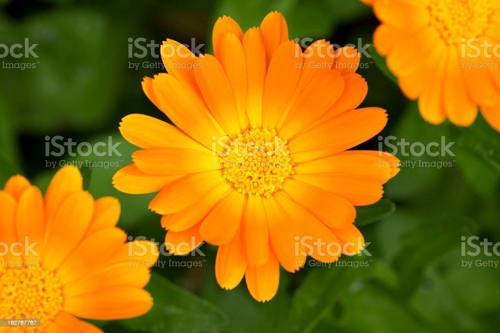 Three marigold blossoms royalty-free stock photo