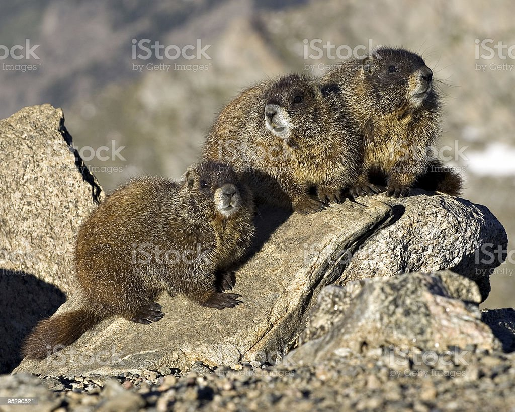 Three Marmots On A Rock Posing For The Camera stock photo