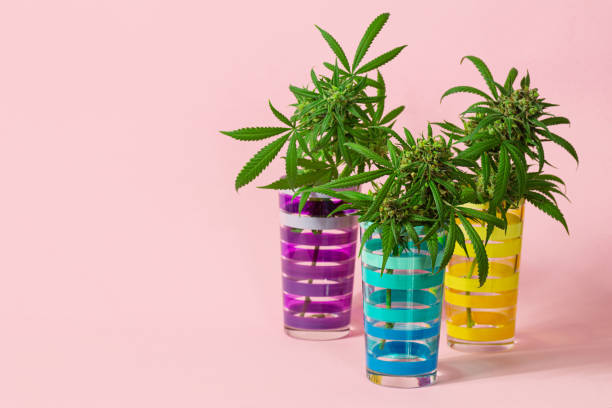 Three Medical Marijuana Buds or Hemp Flowers in Striped Glasses on Pink Background stock photo