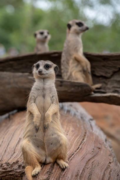 Three Meercats stock photo