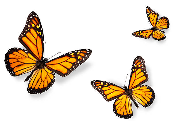 Three monarch butterflies isolated on white picture id118893224?b=1&k=6&m=118893224&s=612x612&w=0&h=uurswenaxakpaeykfise4i mhebhhzchtqjhh0aqh w=