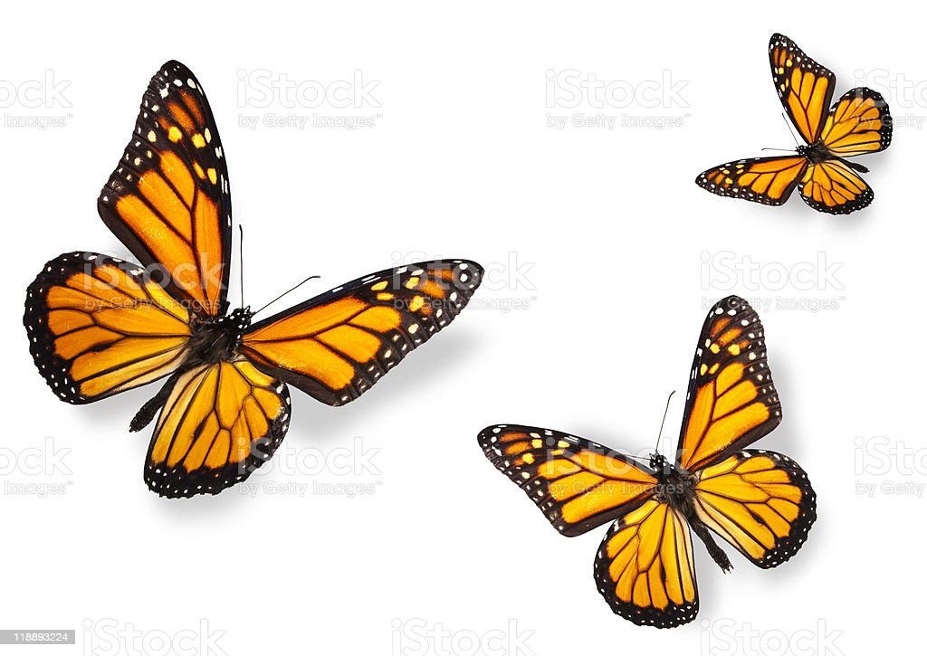 Three Monarch Butterflies Isolated on White stock photo