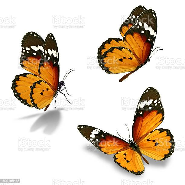 Three monarch butterfly picture id509188458?b=1&k=6&m=509188458&s=612x612&h=moi0uogj5 y2xblq9efur4bxiaxigt25vy7kmbajaas=