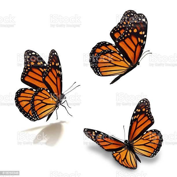 Three monarch butterfly picture id518255346?b=1&k=6&m=518255346&s=612x612&h=bree1y6b4jtu0w0i9yhc0itpe5ovlngjv1ozkxkyoa8=