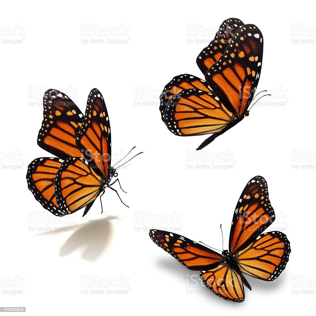 three monarch butterfly stock photo
