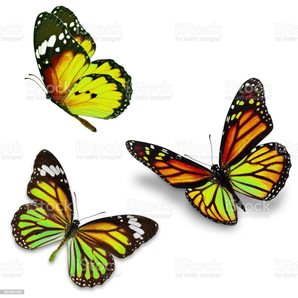 Three monarch butterfly foto stock royalty-free