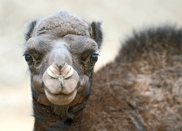 Three month old camel stock photo