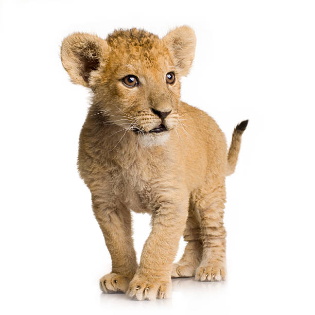 Three month old lion cub on white background Lion cub (3 months) in front of a white background. lion cub stock pictures, royalty-free photos & images