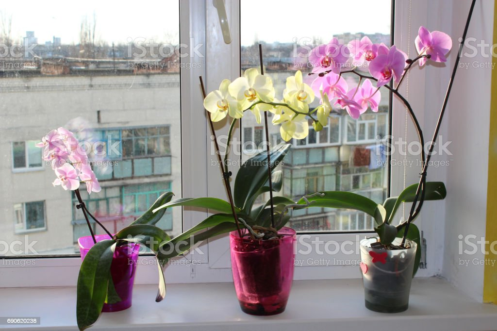 three multicolor blossoming orchids on window-sill stock photo
