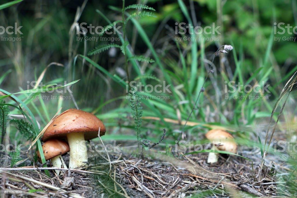 Three Mushroom Suillus grow in wood stock photo