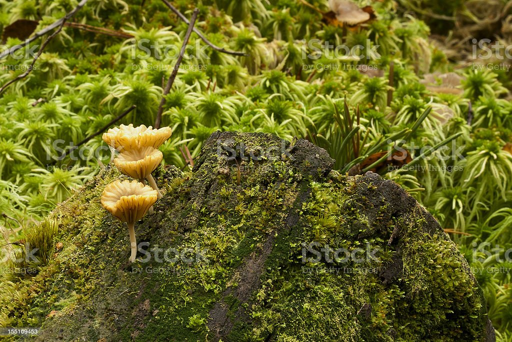 Three mushrooms on trunk royalty-free stock photo