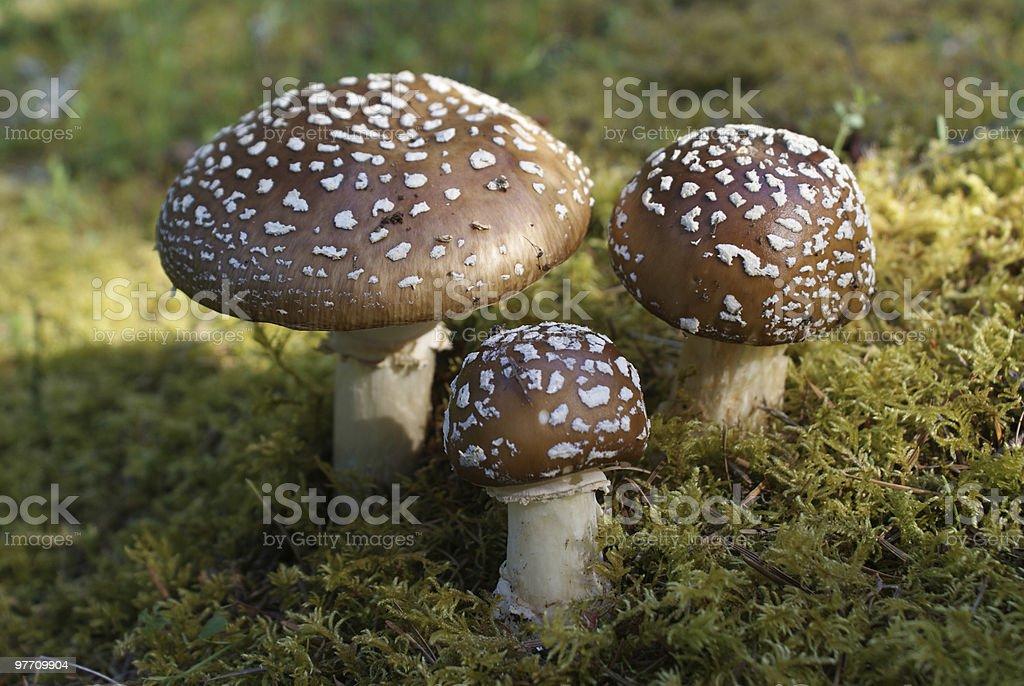 Three Mushrooms stock photo