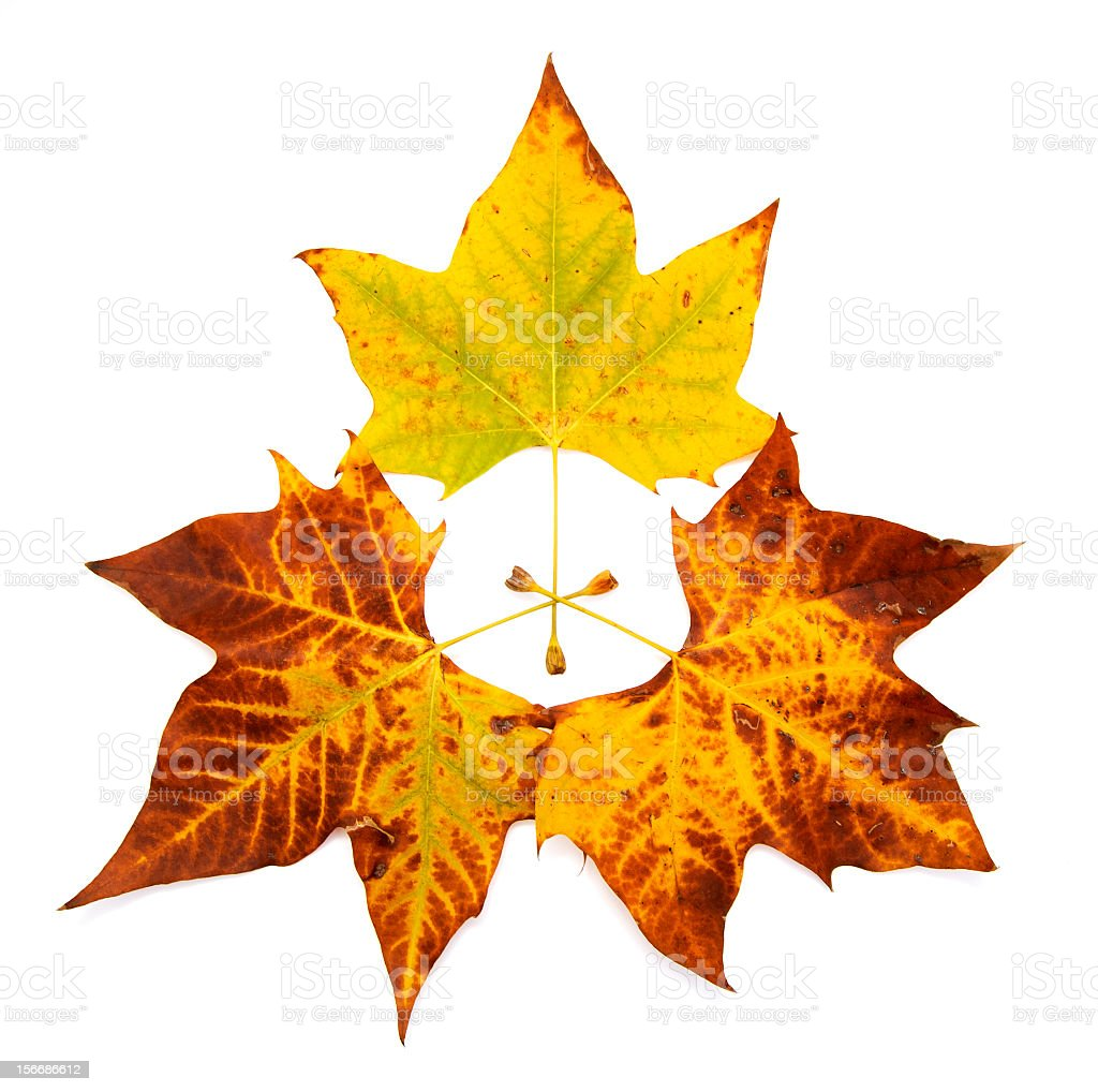 Three neat colorful maple leaves on white background royalty-free stock photo