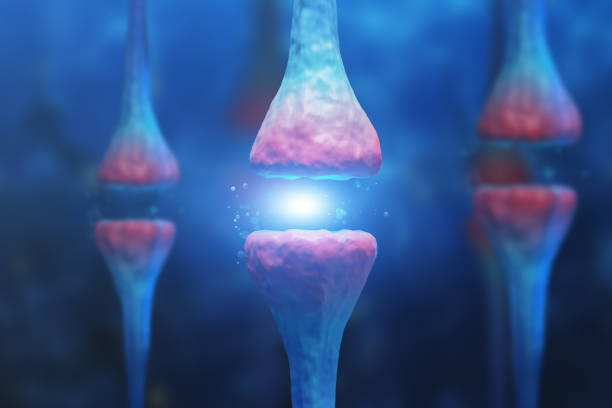 Three neurons close up Abstract image of three pink and white vertical neurons over blue background with nervous cells. Concept of science and medicine. 3d rendering neurotransmitter stock pictures, royalty-free photos & images