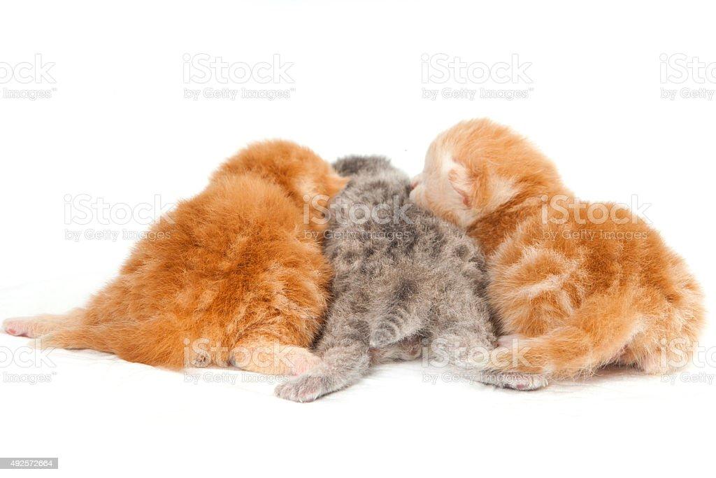 Three newborn kitten (isolated on white) stock photo