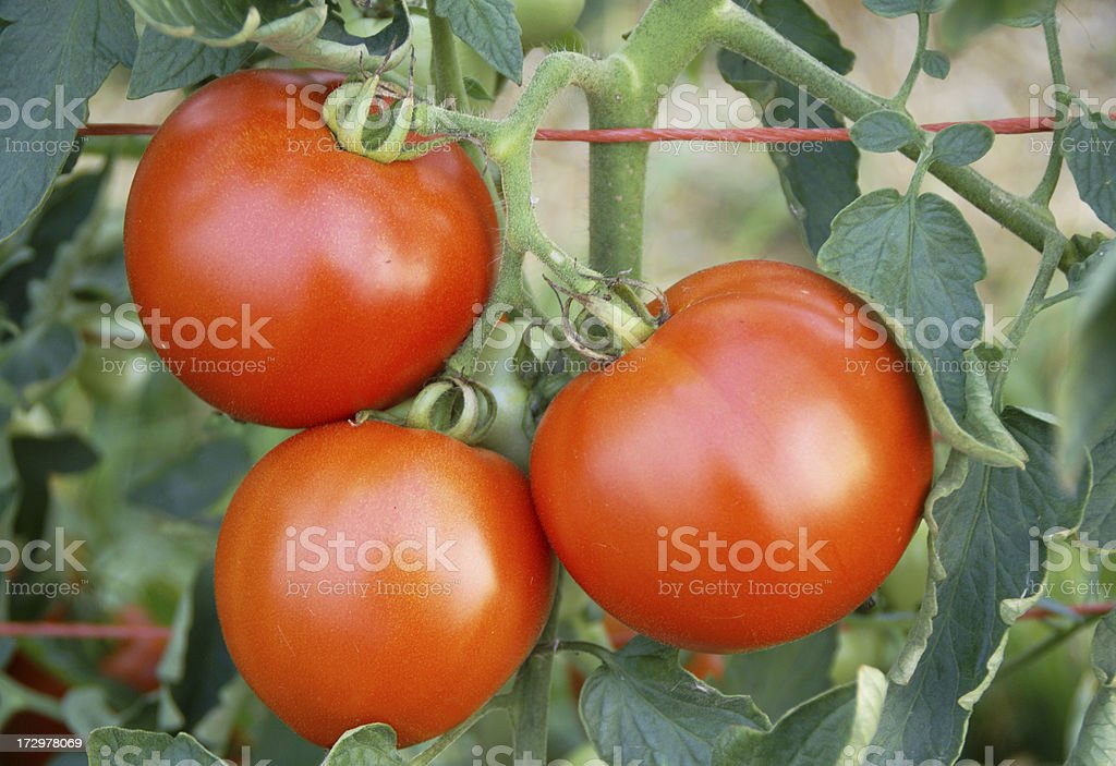Three Nice Tomatoes royalty-free stock photo