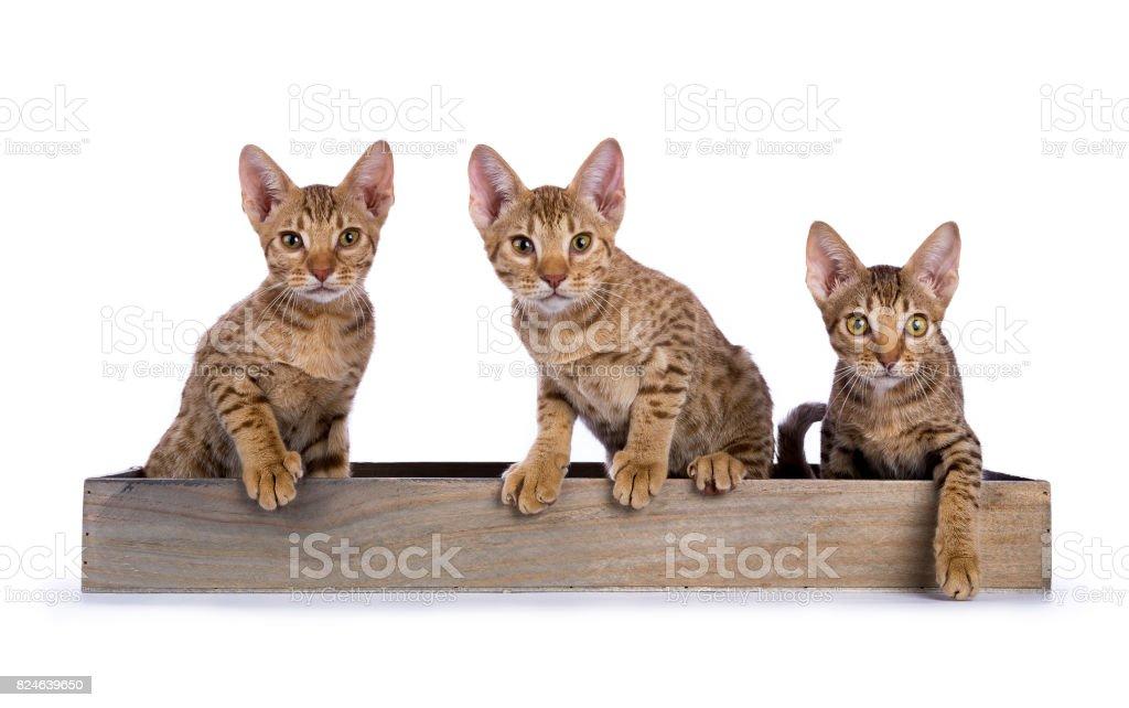 Drie Ocicat katjes zitten in een houten lade geconfronteerd met camera geïsoleerd op witte achtergrond foto