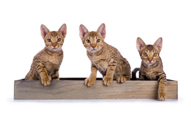 tre gattini ocicat seduti in un vassoio di legno di fronte alla telecamera isolata su sfondo bianco - ocicat foto e immagini stock
