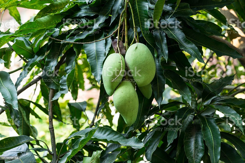 three of mangoes on tree stock photo