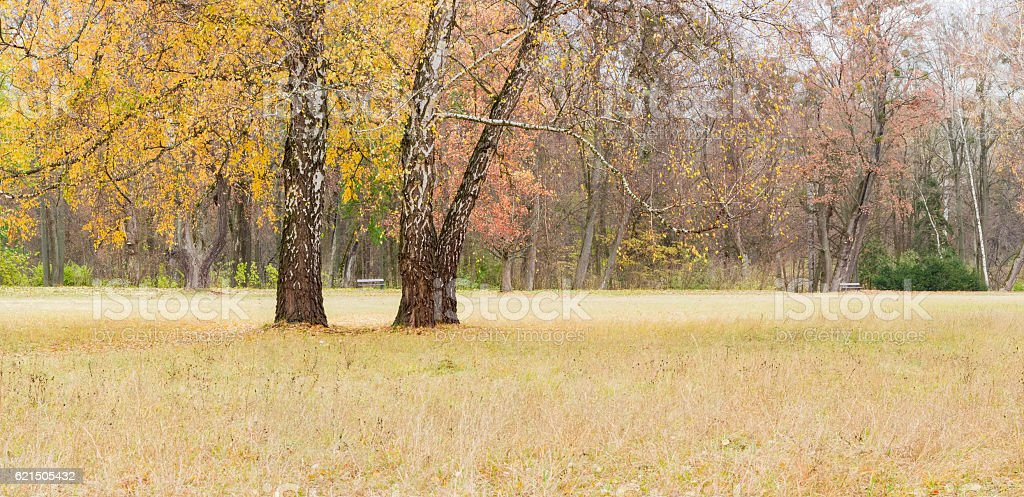 Three old birch among glade in park in autumn day foto stock royalty-free