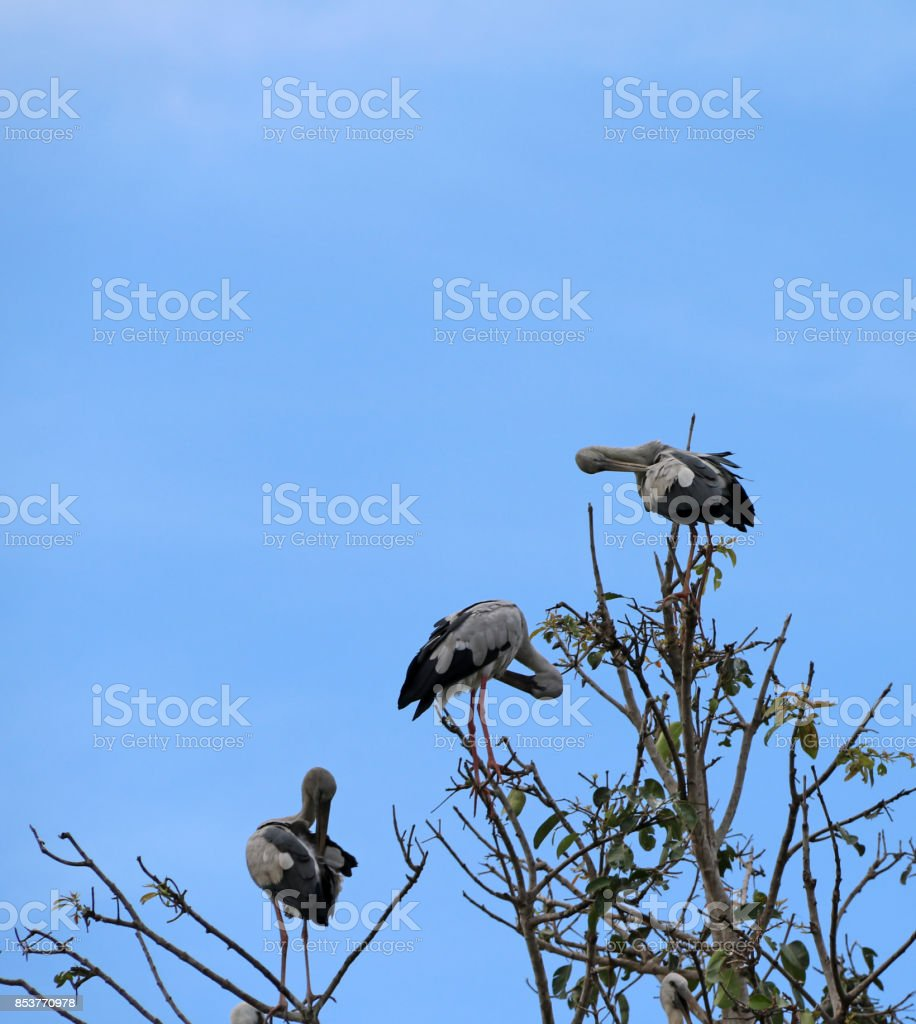 Three open billed stork bird perch at the top of the tree and cleaning feathers on blue sky background. stock photo