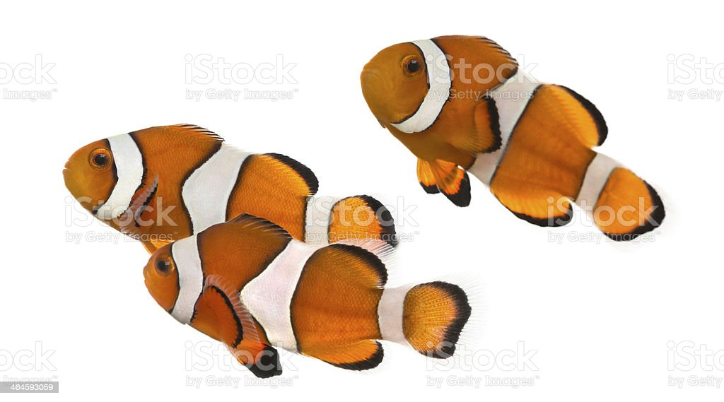 Three orange and white Ocellaris clownfish on white stock photo