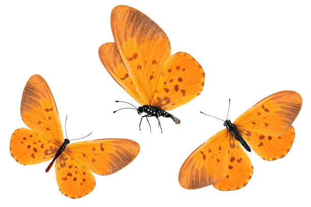 Three orange butterflies with red spots on the wings isolated on picture id1130714933?b=1&k=6&m=1130714933&s=612x612&w=0&h=7imzs24wqfbr70a1xde2vjlem2el0ldwgspjjjja aw=