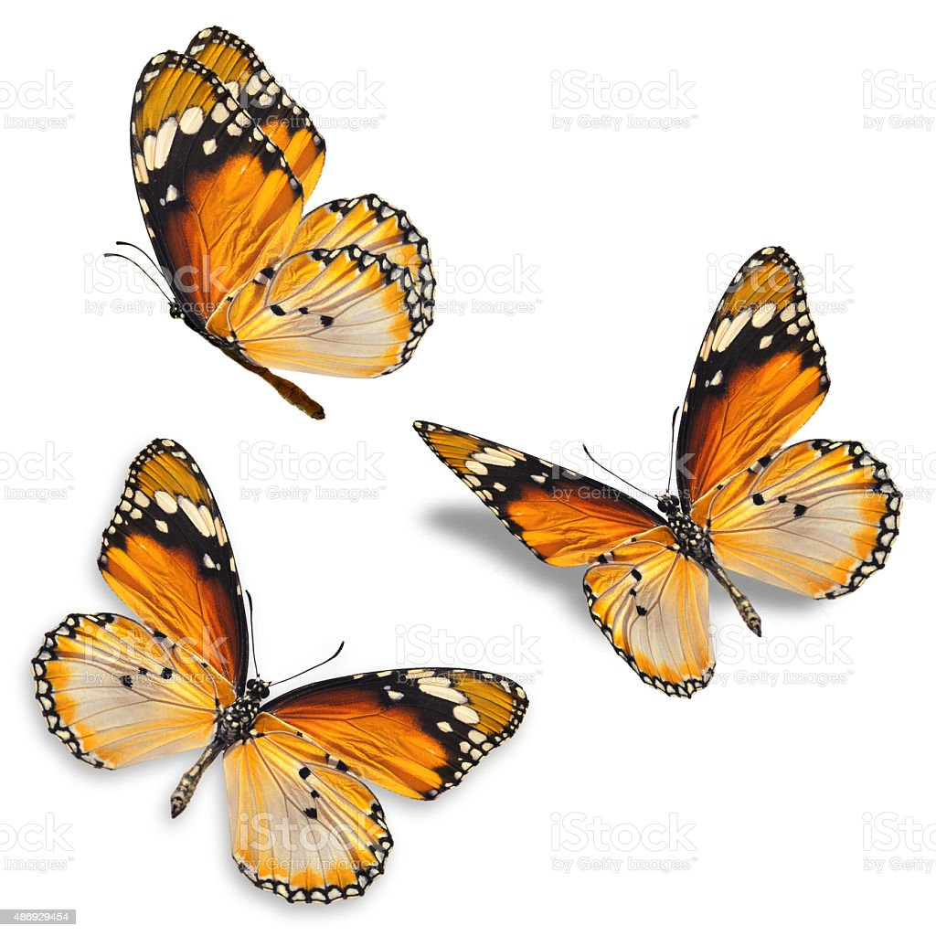 Three orange butterfly stock photo