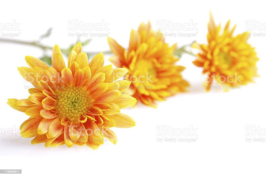 three orange with yellow chrysanthemums isolated on white stock photo