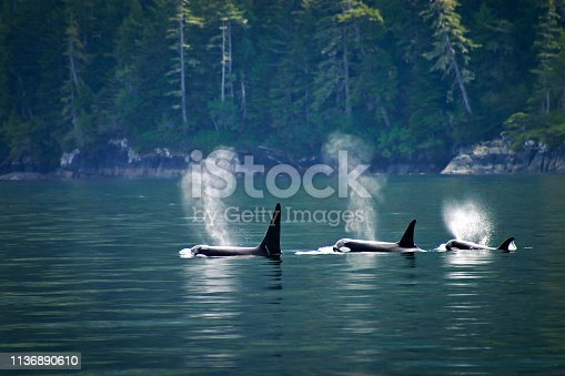 Three orcas in a row at Telegraph Cove at Vancouver island, British Columbia, Canada
