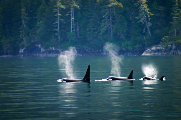 Three orcas or killer whales in a row Three orcas in a row at Telegraph Cove at Vancouver island, British Columbia, Canada vancouver island stock pictures, royalty-free photos & images