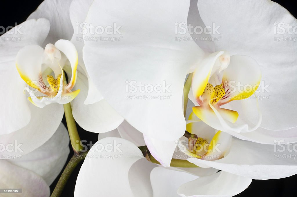 Three Orchids royalty-free stock photo