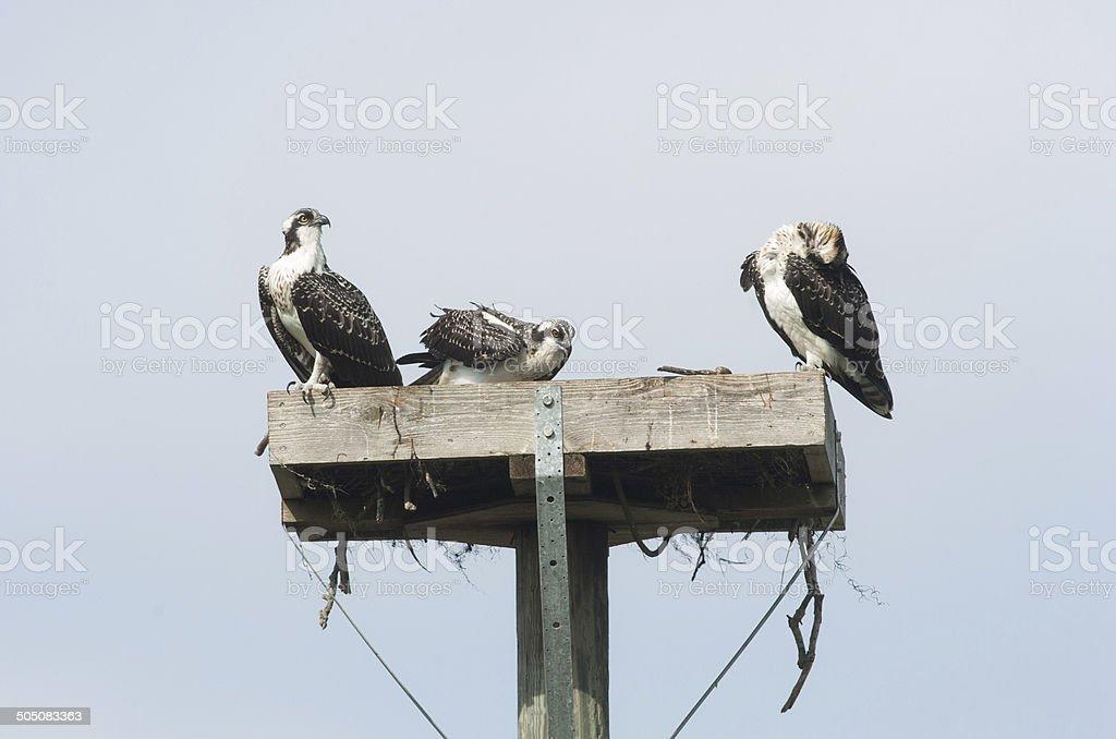Three Osprey Siblings stock photo