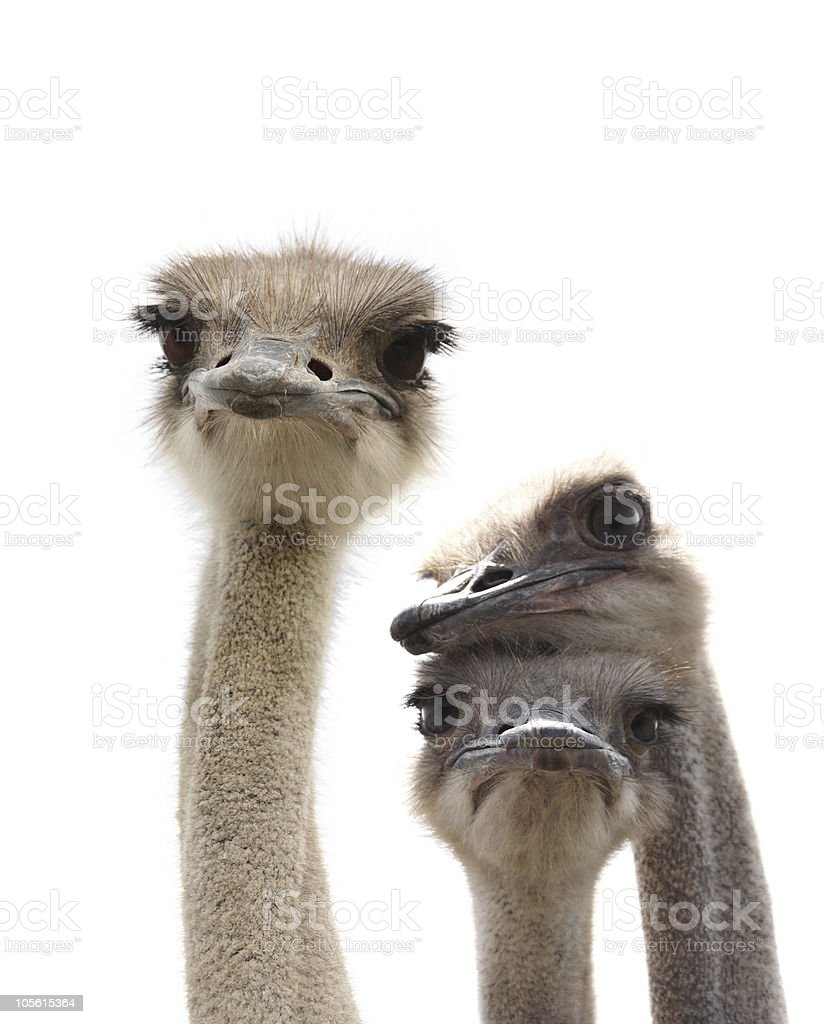 Three ostrich heads looking at camera on a white background stock photo