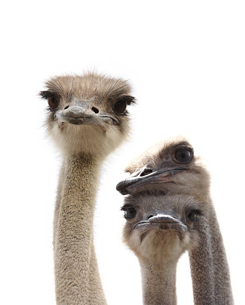 three ostrich heads looking at camera on a white background - struisvogel stockfoto's en -beelden