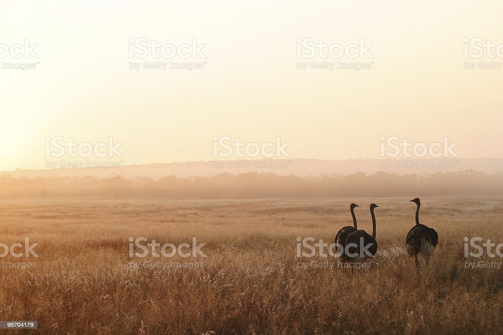 Three Ostriches royalty-free stock photo