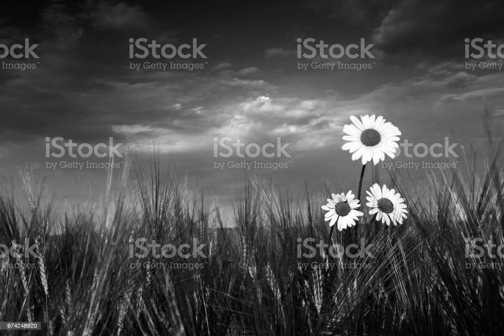 Three ox-eye daisy flowers in barley. Leucanthemum vulgare. Artistic black and white scene stock photo