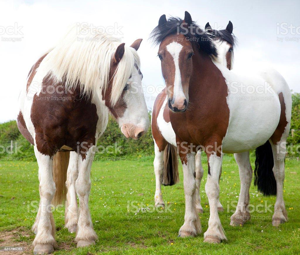 three paint ponies stock photo