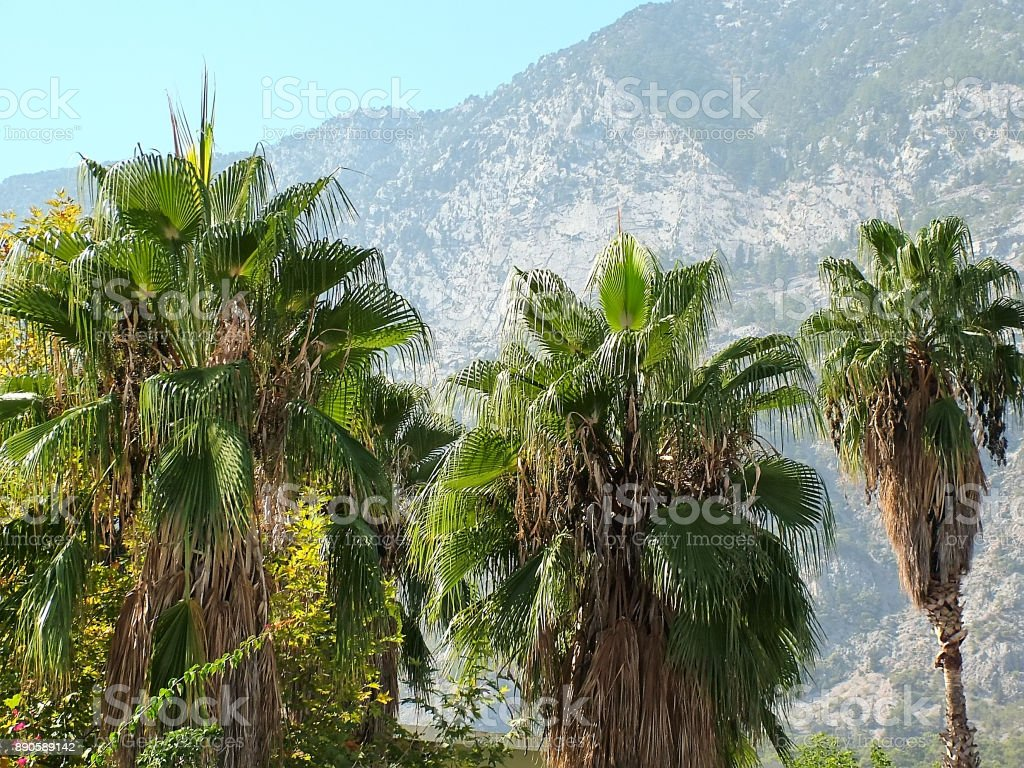 Three palm trees against the background of the mountains stock photo