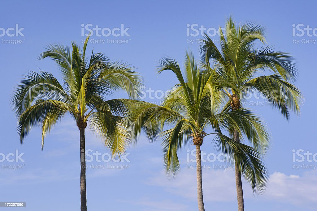 Three Palm Trees royalty-free stock photo