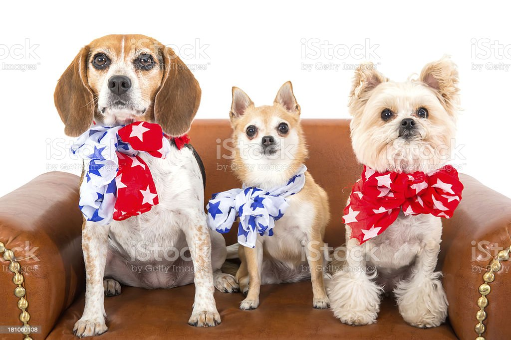 Three patriotic dogs royalty-free stock photo