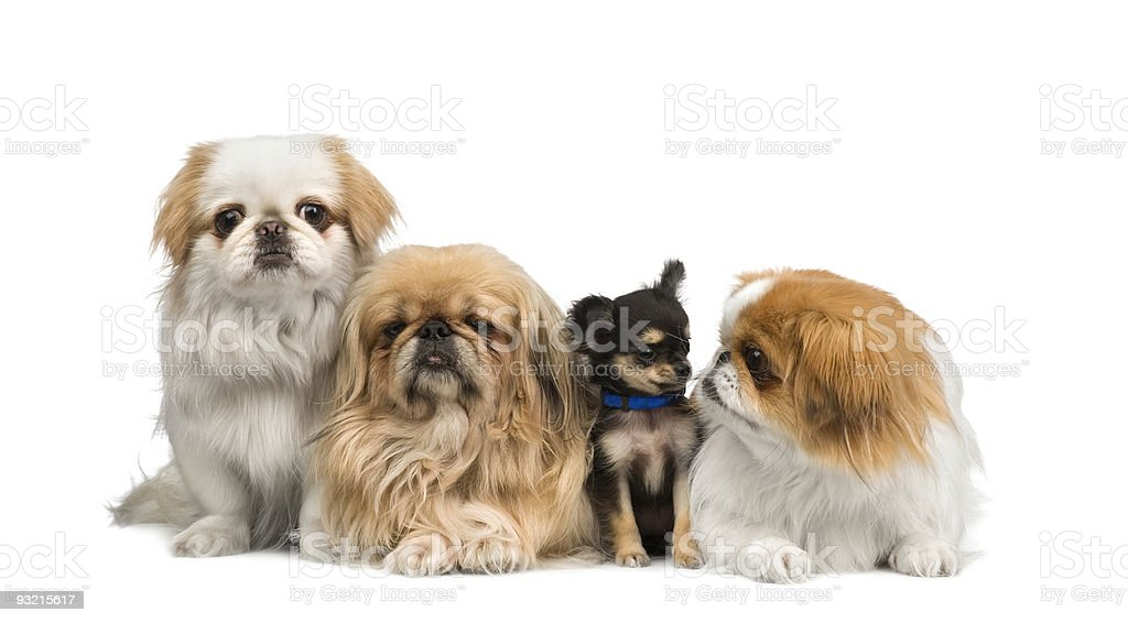 three Pekingeses and one chihuahua royalty-free stock photo