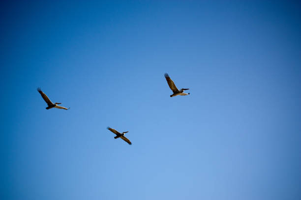 Three Pelicans Flying In Clear Sky stock photo