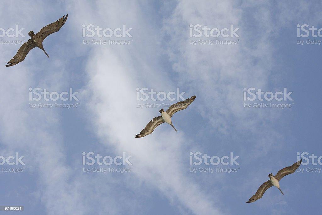Three Pelicans royalty-free stock photo