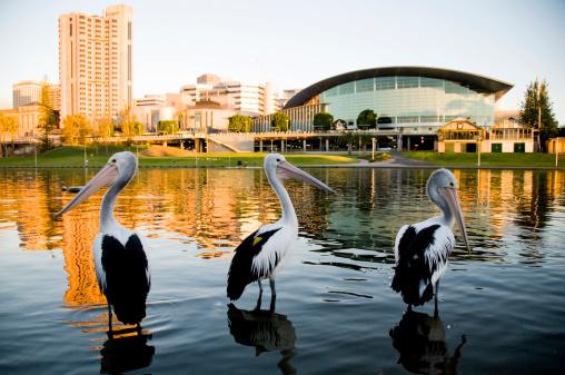Three pelicans Torrens river Adelaide South Australia.
