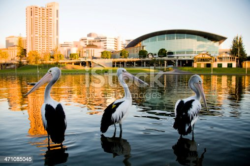 Three pelicans Torrens river Adelaide South Australia.